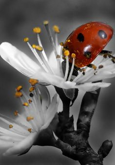 """Ladybug, Ladybug GreatQuote: (J. Patrick Lewis) """"The Ladybug wears no disguises. She is just what she advertises. A speckled spectacle of spring, A fashion statement on the wing. A miniature orange kite. A tiny dot-to-dot delight. Photography Pics, Animal Photography, Color Splash, Animal Pictures, Cool Pictures, Fantasy Landscape, Black And White Photography, Beautiful Creatures, Pet Portraits"""
