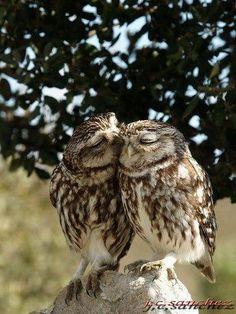 Kissing Owl <3