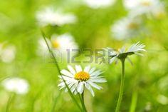 Beautiful soft daisies close up  Stock Photo