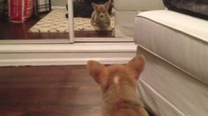 This Pembroke Welsh was playing with her ball, suddenly the Corgi's owner threw the ball to a room with a mirror! the Corgi looks at it's own reflection.