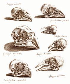 Skulls of Galapagos Finches