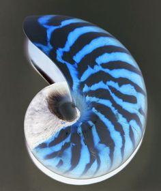 Shell Nautilus