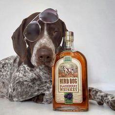 "Bird Dog Whiskey ~ German Shorthaired Pointer ~ Classic ""Bird Dog"" Look"