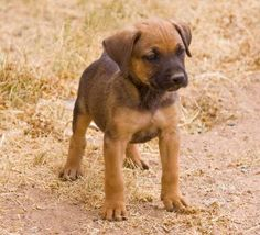 A co-worker told me he grew up with a Boxer German Shepherd. I wanted to see what that looked like. They're pretty cute.