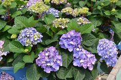 10 Popular Types of Hydrangeas - Growing Tips & Photos   Green and Vibrant Hydrangea Tree, Hydrangea Shrub, Climbing Hydrangea, Hydrangea Colors, Hydrangea Macrophylla, Big Flowers, Colorful Flowers, Shrubs For Sale, Types Of Hydrangeas