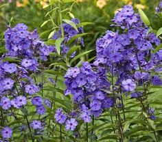 PHLOX paniculata 'Blue Paradise' - Høstfloks, farve: blå/mørkt øje/duftende, lysforhold: sol, højde: 80 cm, blomstring: juli - august, velegnet til snit, god til bier og andre insekter.