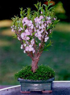 Pink Almond Bonsai. I love Bonsai trees. Please check out my website thanks. www.photopix.co.nz