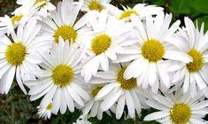 Margaridas, Flores, Floral, Natureza, Jardim, Plantas