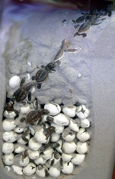 Baby Turtles...incredible