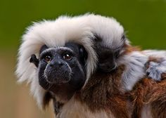 Cotton-top Tamarin Primates, Zoo Animals, Bing Images, Iphone Camera, Dogs, Cotton, Cute Photos, Primate, Doggies