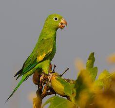 Periquito-de-encontro-amarelo / Yellow-chevroned Parakeet | Brotogeris chiriri. Chapada dos Guimarães - Brasil.