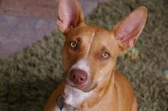 Josie is an adoptable Pharaoh Hound Dog in La Jolla, CA. Meet Josie an 11 month old pharaoh hound. SHe is a funny and adorable girl who is timid at first, but once she warms up she is very loving. She...