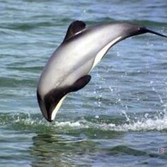 Maui Dolphins are nearing extinction. Please write to the New Zealand government and request for them to intervene. Save the Mauis! Hector Dolphin, Maui, Dolphin Facts, Mundo Animal, Creature Feature, Killer Whales, Endangered Species, Endangered Sea Animals, Ocean Life
