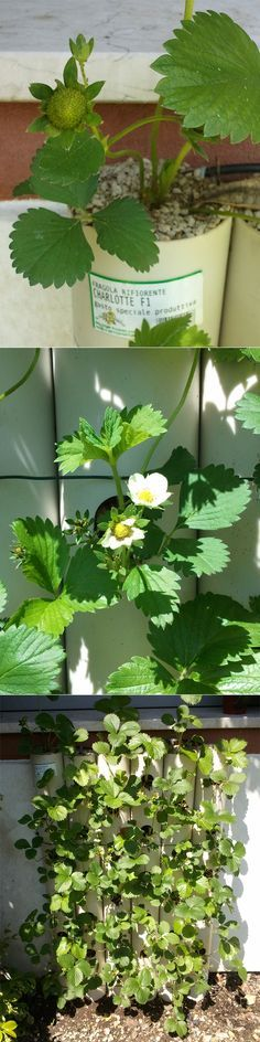 the strawberry wall is growing well has many flowers and even some green strawberry :-p