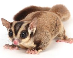Pet Sugar Glider Care, Information, Facts & Pictures