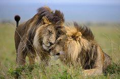 Werken met leeuwen of andere big cats? Dat kan! http://www.stichtingspots.nl/index.php?page=1188