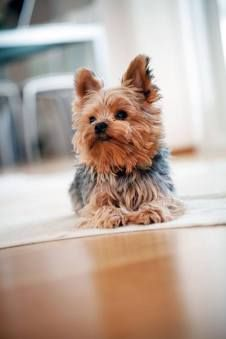 Yorkie waiting for playtime and a cute Yorkie name which can be found here... http://www.dog-names-and-more.com/Yorkie-Names.html