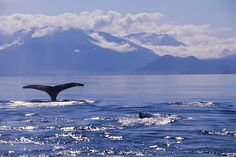 Whale watching in Alaska - doesn't get any better than this!