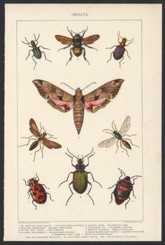 ANTIQUE INSECTS PRINT - 9 SPECIES - COLOR LITHOGRAPH - 110+ YEARS OLD!