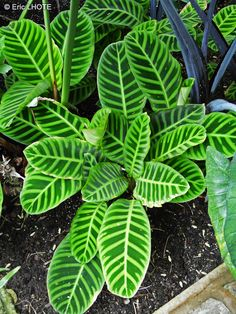 Calathea zebrina (zebra plant) is a species of plant in the family Marantaceae, native to southeastern Brazil Calathea Plant, Water Plants, Cool Plants, Green Plants, Exotic Plants, Tropical Plants, Tropical Garden Design, Zebra Plant, Gardens