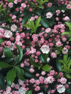Calico Bush - This dense bushy shrub bears distinctive pink flowers from crimped buds in summer.