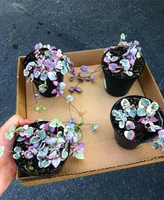 r/succulents - Variegated string of hearts 🥰 Planting Succulents, Garden Plants, Indoor Plants, House Plants, Planting Flowers, Inside Plants, Cool Plants, Plant Aesthetic, Pink Plant