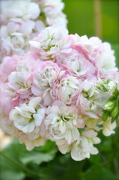 pelargonium 'April Snow' - white and pink - aka geranium