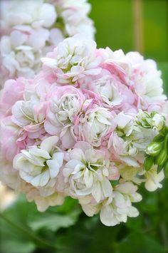 pelargonium 'April Snow' - white and pink - aka geranium