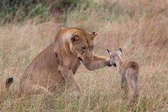 leonessa adotta impala orfano