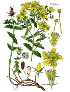 St. John's wort (Hypericum perforatum) is used to combat various types of physical and emotional pain, as well as health conditions such as nerve pain, arthritis, anxiety, fatigue, depression, muscle pain, migraine, itchy skin, burns, bruises, bites, swelling, sunburn, seasonal affective disorder (SAD), irritable bowel syndrome(IBS), premenstrual syndrome (PMS), and attention deficit-hyperactivity disorder (ADHD).