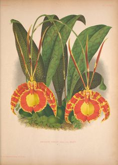 Antique Orchid Scientific Illustration Digital Download by artdeco, $4.00