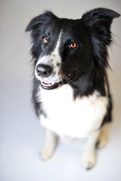 Border #Collie #Dog