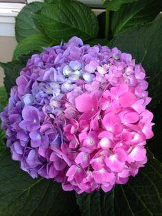 In a neighboring yard! Hydrangea Garden, Hydrangea Flower, Shade Flowers, Blue Flowers, Little Flowers, Beautiful Flowers, Flower Beds, Flower Art, Floral Photography