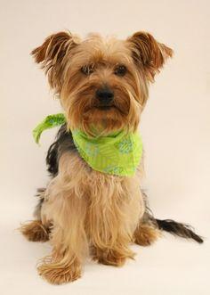 Petfinder  Adoptable   Yorkshire Terrier Yorkie   Dog   Tulsa, OK   Reubin