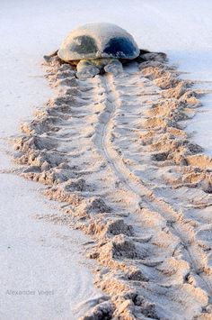 Green Turtle ~ the track looks like a skull and spine from an archaeological dig! Turtle Beach, Turtle Love, Green Turtle, Beautiful Creatures, Animals Beautiful, Cute Animals, Wild Animals, Vida Animal, Tortoise Turtle