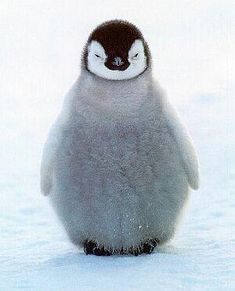 Penguin pictures and important penguin information. View tons of cute penguins and learn interesting facts about these delightful birds. Penguin Pictures, Cute Animal Photos, Animal Pictures, Cute Pictures, Penguin Images, Funny Photos, Funny Images, Cute Baby Penguin, Cute Baby Animals
