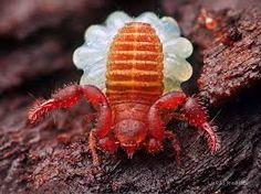 Uma fêmea de Quelicerado terrestre (Arachinida) com ovos presos em seu abdômen. A female of terrestrial Chelicerate (Arachnida) with eggs trapped in her abdomen.