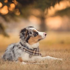 19 Reasons Australian Shepherds Are The Best-Looking Dogs In The World