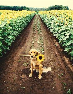 a beautiful golden // golden // retriever // dog // puppy // sunflower // field // cute // animals // flowers // Animals And Pets, Baby Animals, Funny Animals, Cute Animals, Nature Animals, Love My Dog, Cute Puppies, Cute Dogs, Dogs And Puppies