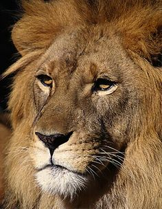 Asiatic Lion - © Robert Jensen