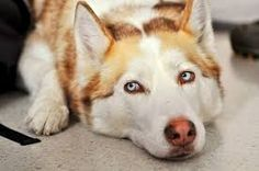 I want a blonde husky because I ove dogs and they are adorable