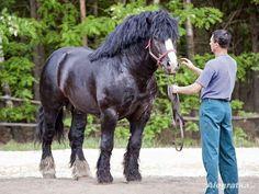 Sztumski -- Polish Draft Horse