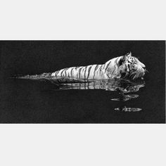 """River Crossing 233mm x 294mm (9 3/8"""" x 15 1/2"""") """"Many artists have a hard time drawing water but there is a simple rule which usually works. Remember that lights tend to reflect darker and darks tend to reflect lighter.This is a white tiger going for a swim, yet another subject from Singapore Zoo.There are no more white tigers left in the wild. They were once found around Rewa in Northern India but occured as a result of in-breeding.""""  Kevin J. Hayler"""