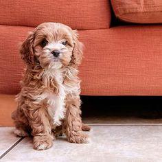 Cavapoo: Cavalier King Charles Spaniel Poodle