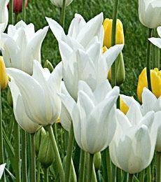 Narcissus cum laude white flower farm flower farm and daffodils mightylinksfo Gallery