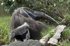Giant Anteater   Flickr - Photo Sharing!