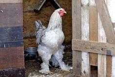 Großer weißer Hahn-Kuck