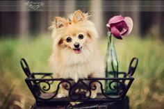 my adorable pom