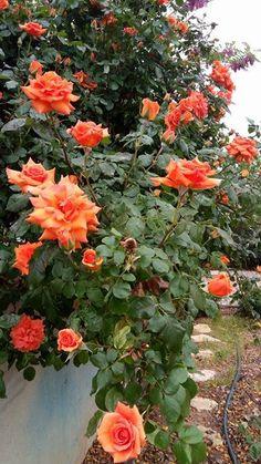 Ve işte diğer Sarmaşık gülüm bu kez turuncu rengiyle sarmaşık güllerin Nisan ayı başındaki bayramını daha da renklendiriyor