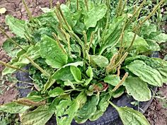 Plantain Heirloom Medicinal Herb Seeds Non GMO by BoxGardenSeeds